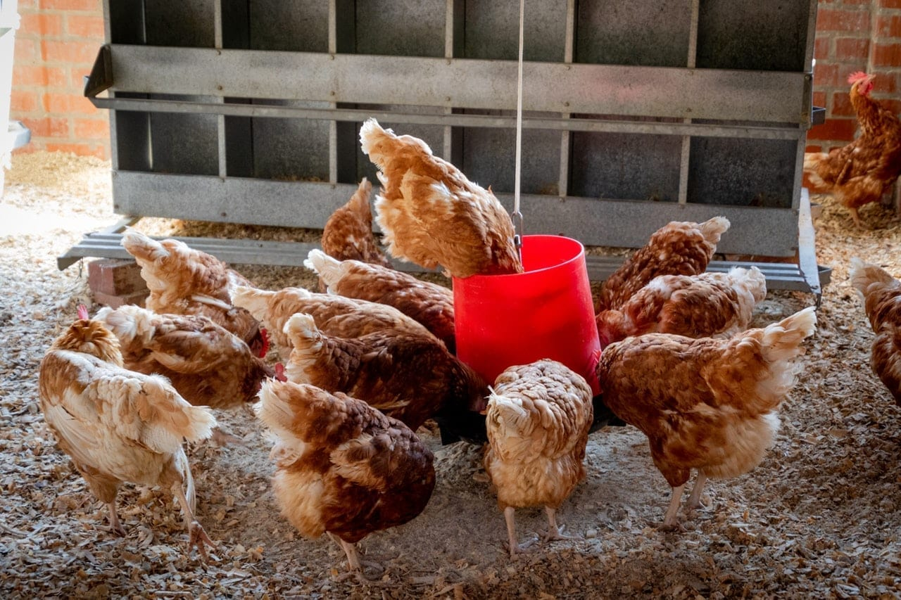 How Many Bags Of Feed Do I Need For Poultry Farm? - The Big