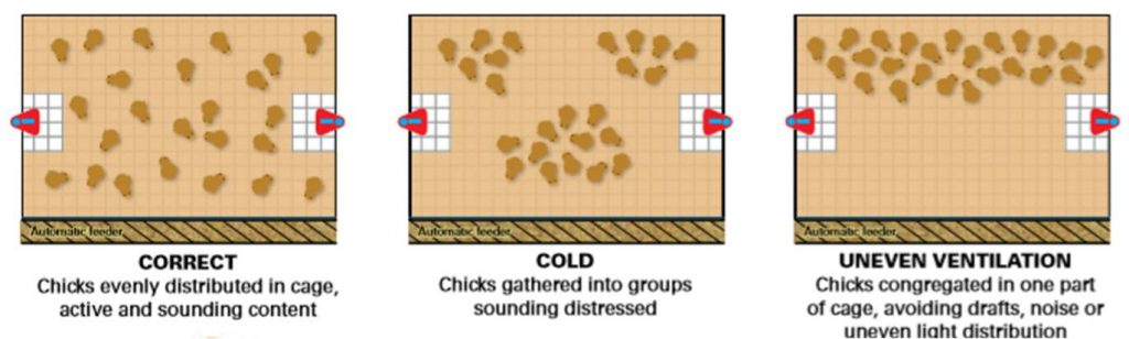 Layer chicks in brooder - diagram