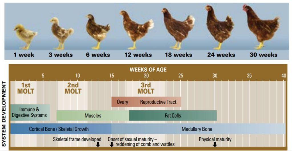 Layer Chicken Growth Chart