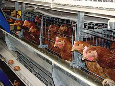 Layer Chicken In Cages