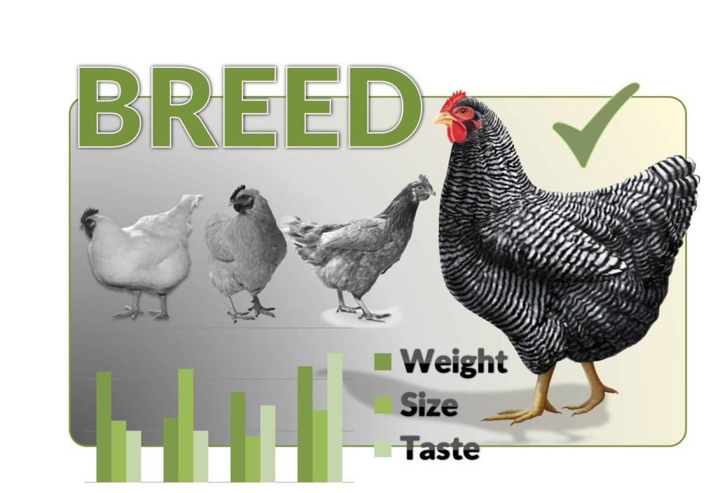 broiler breed
