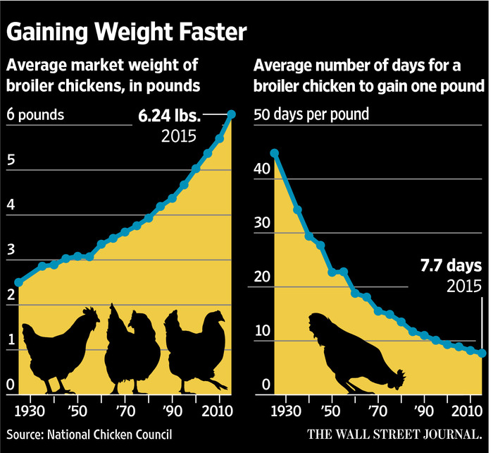 Gaining Weight Faster Broiler