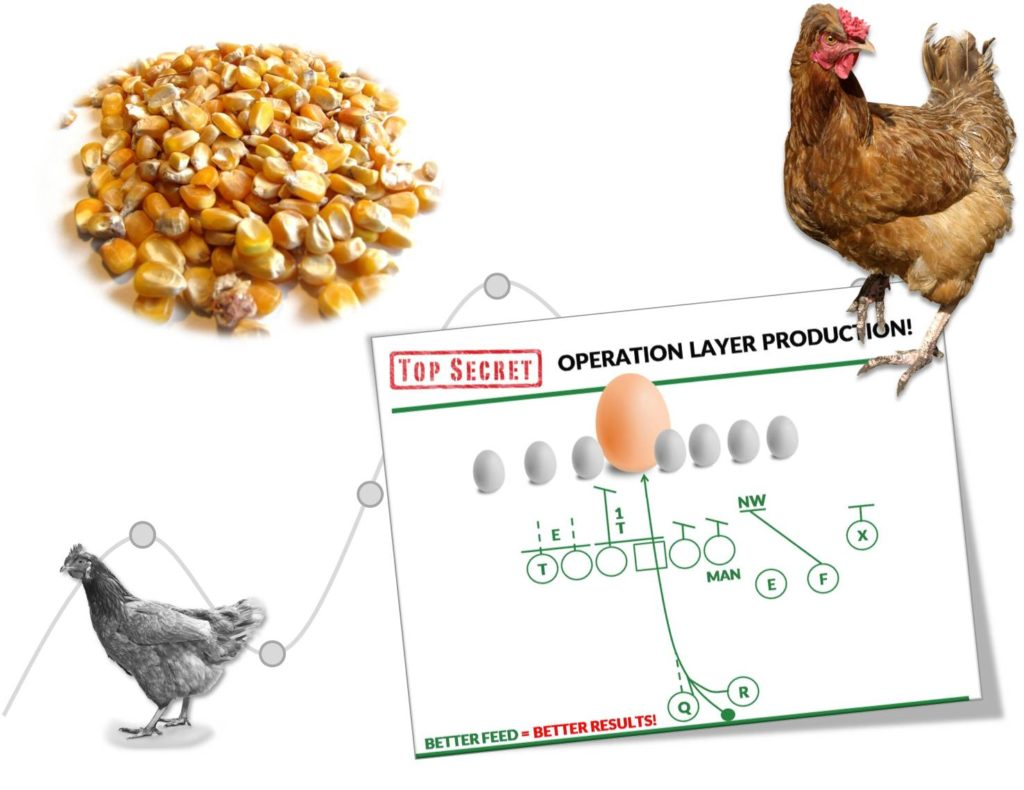 Layer Egg Production Strategy