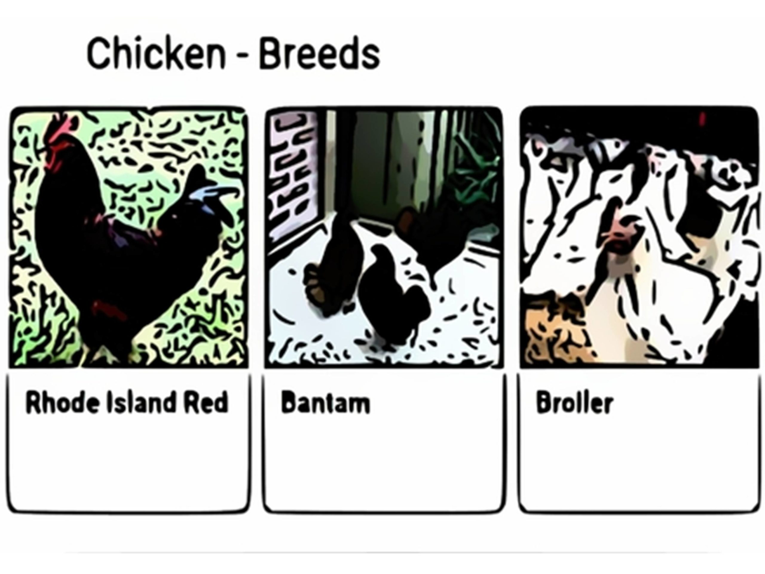 Selecting Your Breed Of Chicken
