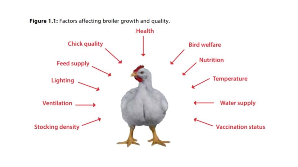 Factors Affecting Broiler Growth and Weight Gain