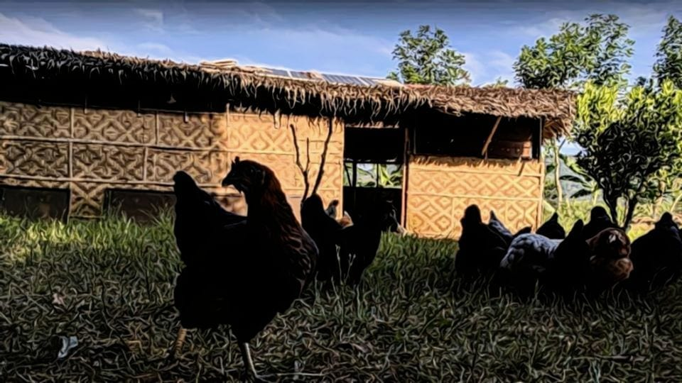 Free Range Poultry House in the Philippines