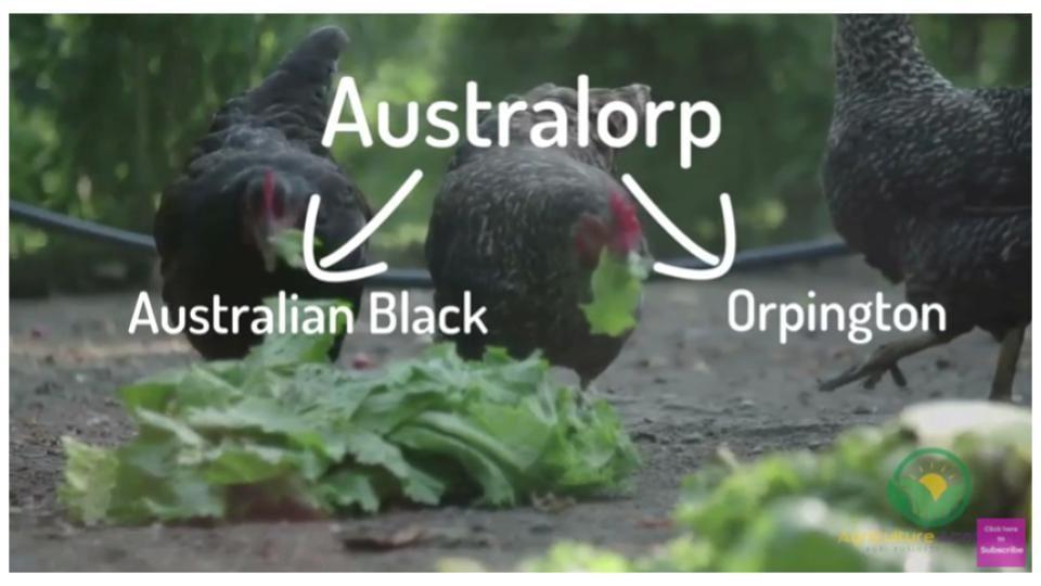 Australian Black Orpington