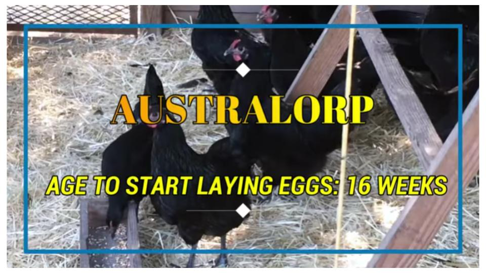 Australorp point of lay is 16 weeks