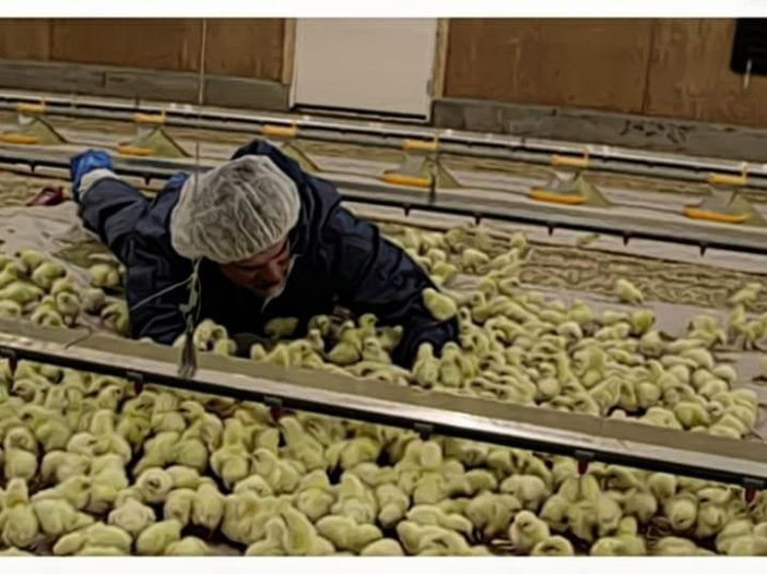 Broiler Brooding Management Practices_ Early Chick Performance (1)