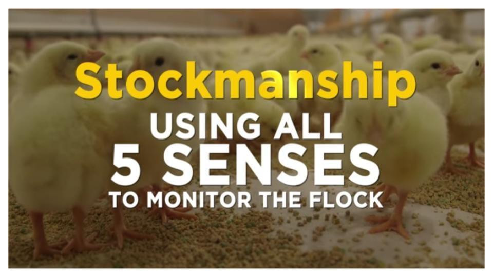 Brooder stockmanships using all 5 senses