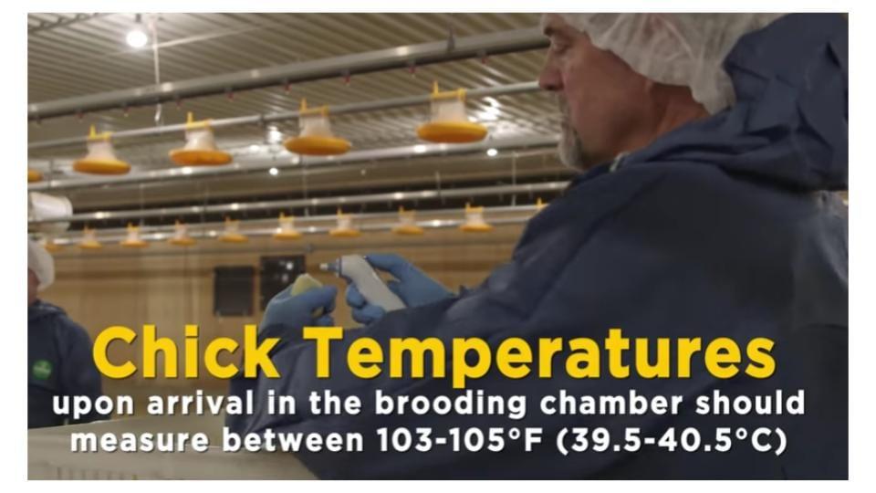 Check chick temperature
