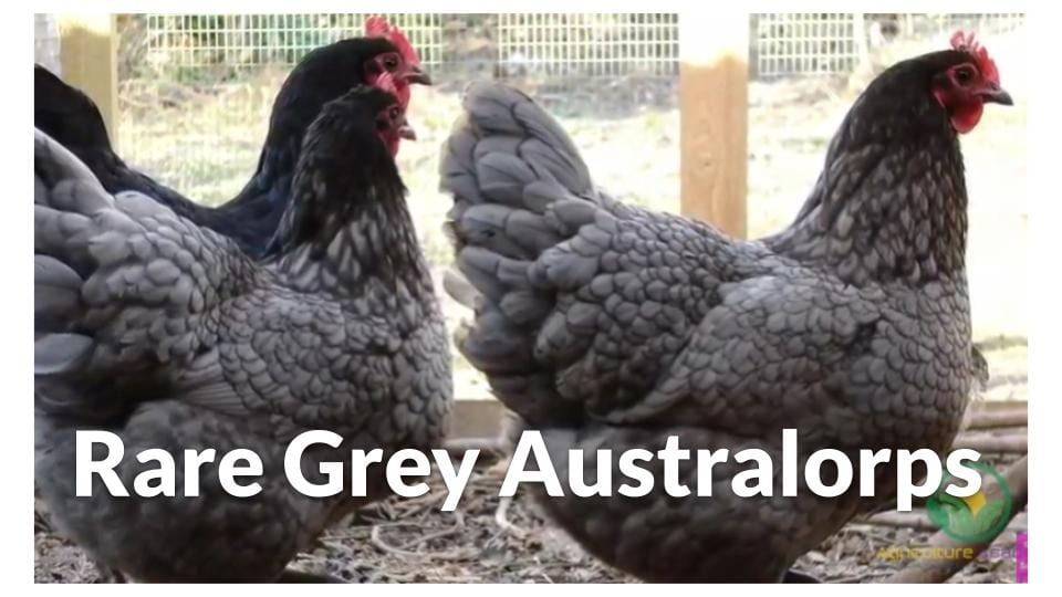 Grey Australorps