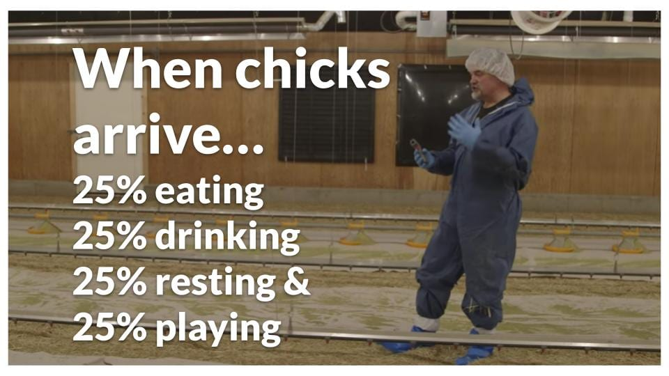 Observe the behaviour of your chicks in the brooder