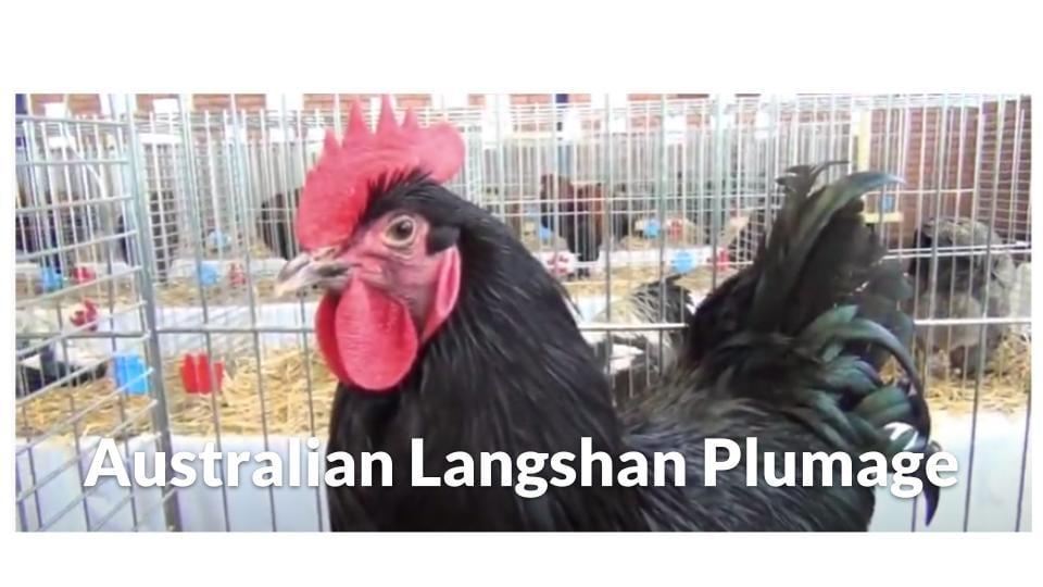 Australian Langshan Plumage