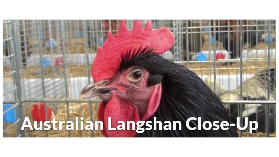 Australian Langshan Close Up Photo